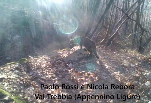 Filmato nell'entroterra di Genova per la prima volta in Liguria un gatto selvatico (Video)
