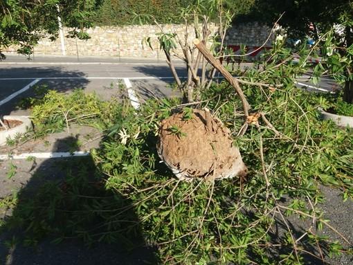 Diano Castello: giardiniere assalito da diverse vespe velutina. Immediato l'intervento di una squadra della Protezione Civile di Cervo