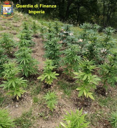 Imperia: arrestato l'uomo che aveva una piantagione di marijuana nei boschi di Villa Faraldi (Foto)