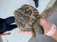 Ceriale: la Polizia Stradale di Imperia salva una tartaruga in autostrada, era arrivata da qualche campagna (Foto)
