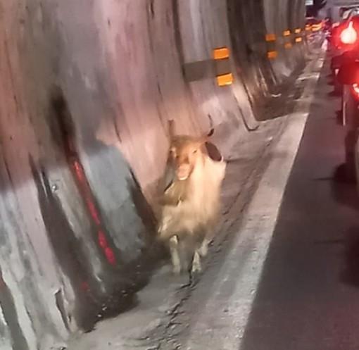 Una capra in autostrada: anche questo accade sulla Genova-Ventimiglia