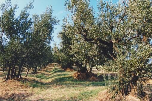 Terza edizione della 'Camminata tra gli ulivi'