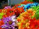 """#Sanremo2021, Cia Imperia: """"Al festival bouquet con fiori Riviera simbolo ripartenza comparto ligure"""""""