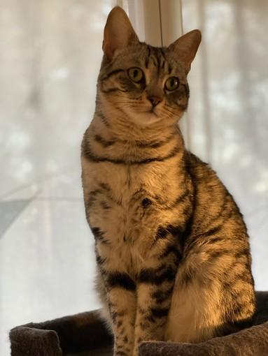 Imperia: gatto smarrito da lunedì alla fondura, proprietaria disperata chiede aiuto