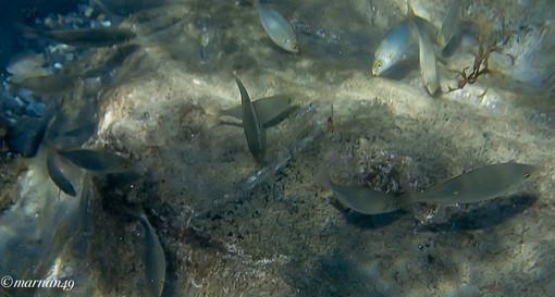 Cervo: prima immersione della stagione di Marcello Nan in località Porteghetto, ecco alcune foto