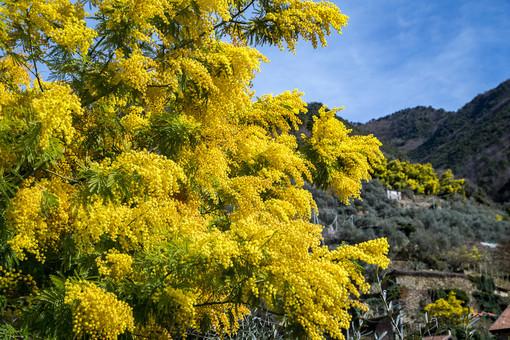 Coldiretti e le imprese vivaistiche donano oltre mille mimose alle RSA liguri