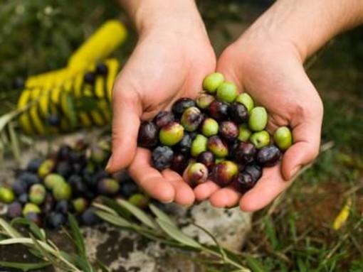 Automazione e sicurezza nell'olivicoltura ligure: presentato il progetto di cooperazione Sinol